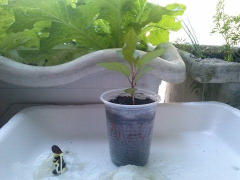 Como plantar Maça Tecnica para germinação - YouTube