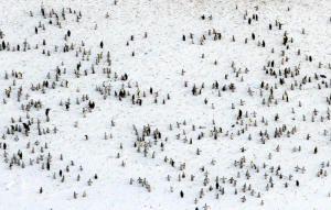 Antarctic Emperor Penguins May Be Adapting to Warmer Temperatures