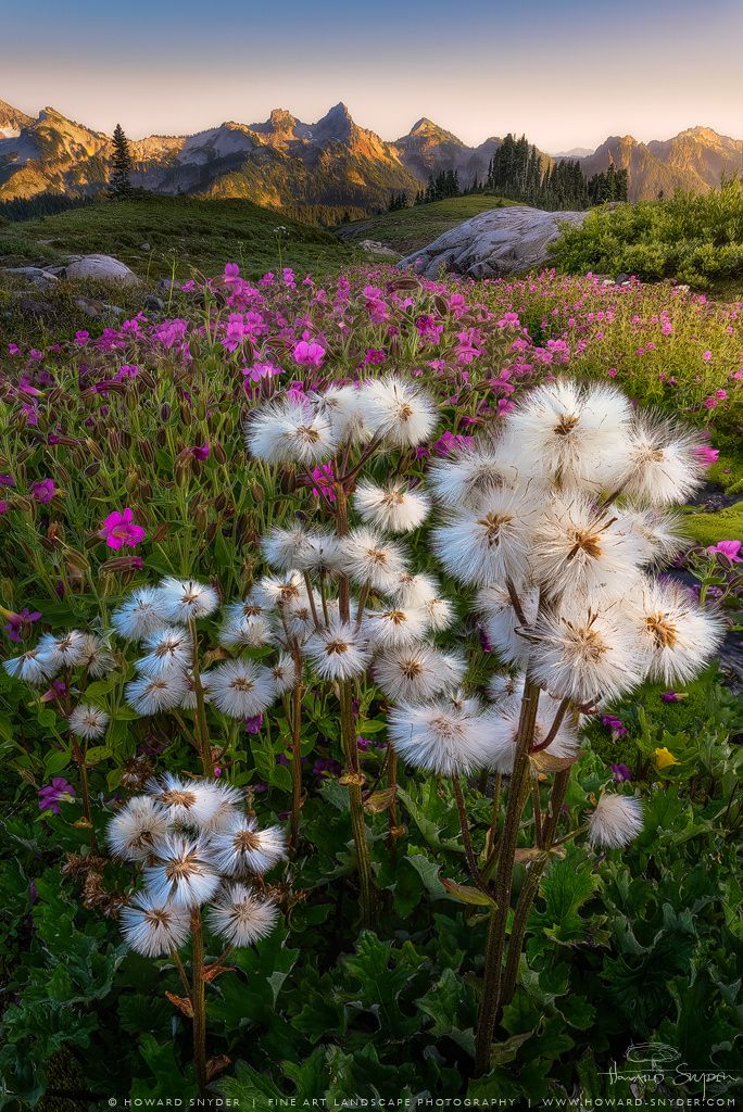 landscape photography flowers. desperate for attention cotton grass and cascade penstemon by howard snyder landscape photographyart photography flowers
