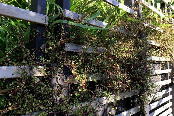 meuhlenbeckia and flax planting softening the timber screens and retaining. Garden. Landscape. Construction.
