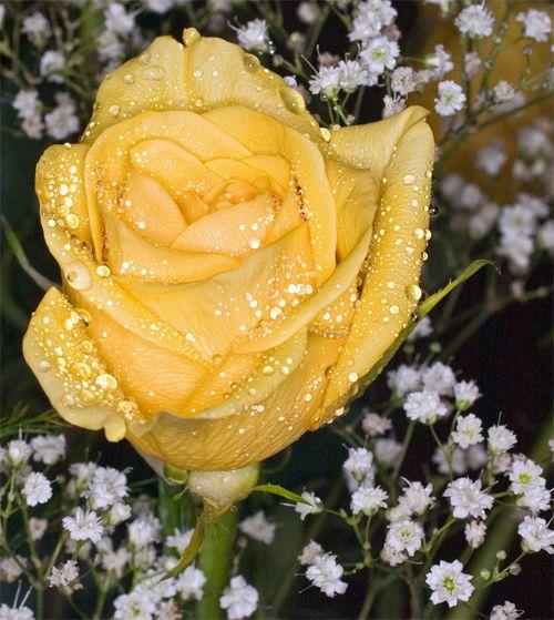 238d21a3a82457e5cadb40009709a8ac--rose-pictures-flower-photos
