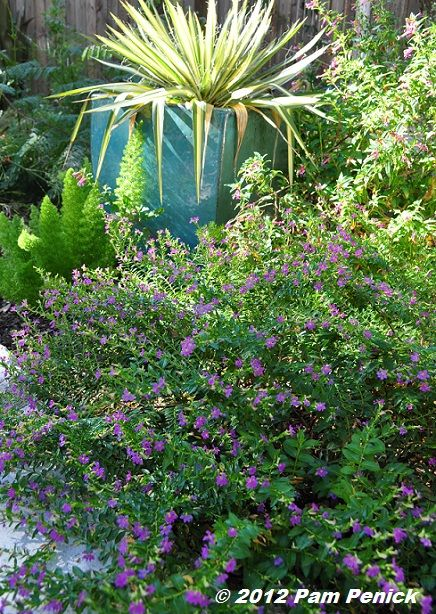 Plant This: Mexican heather | Digging Ahhhh so good to see Texas plants when I am in the frozen tundra!