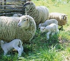 Calculates sheep gestation period based on first date sheep was bred. Sheep Pregnancy Calculator uses a 147 day gestation period.