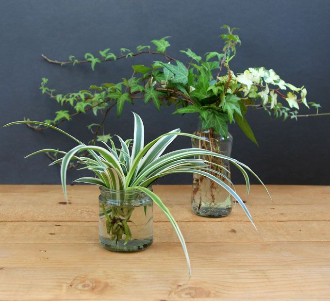 Hedera and spider plant