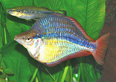 1000 images about rainbowfish on pinterest lakes live for Rainbow fish species
