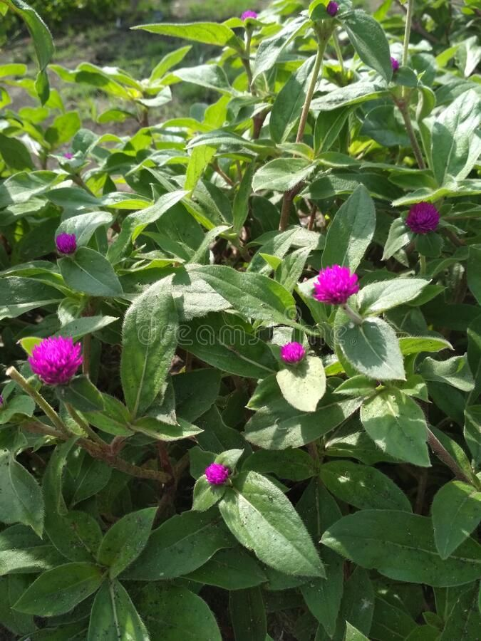 Globe Amaranth Bachelor Degree Or Comphrena Globosa Flower Plant In The Field Photo About Tradescantia Field Globosa In 2020 Globe Amaranth Planting Flowers Plants