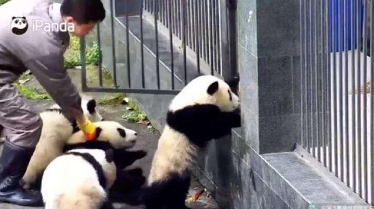 Estos decididos pandas bebés quieren salirse con la suya y hacen lo imposible para conseguirlo