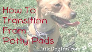 Matilda's tips for quitting puppy pads - how to transition from puppy pads to outdoors.