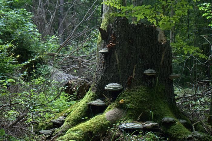 (EnviroNews World News) -- Białowieża is considered by many ecologists to be Europe's last standing primeval forest -- and all of it is protected as a nature park.  But Poland's government has just given the green light to loggers to harvest some 1