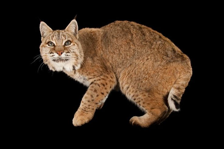 Picture of bobcat (1561730)