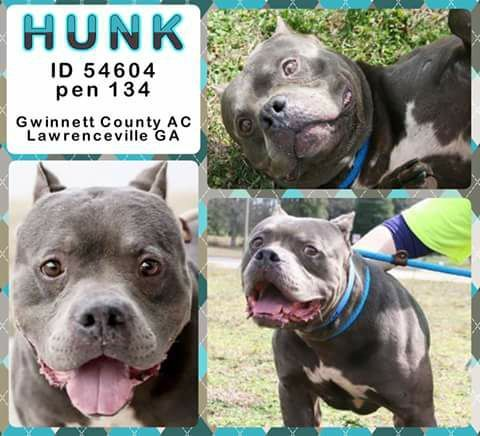 "3-21-17**HUNK NEEDS PLEDGES URGENTLY**ATTN RESCUES & ADOPTERS**SAVE OR ADOPT HUNK NOW!!! Animal ID # is 54604 ""HUNK"" Gwinett County, Georgia,** CALL 770-339-3200***Only $145 in pledges 3/20, NEED $300++ to attract rescues. Could be put down at any time without warning!!:-( I am a MALE, PEN 134 STAFFORDSHIRE BULL TERRIER MIX."