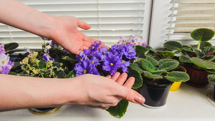 Senpólie známejšie azda ako africké fialky či kapské fialky sú nenáročné, pekné a preto aj veľmi obľúbené izbové kvety. Či už ste si kúpili ďalší kúsok, alebo ste dostali kvietok darom, poradíme vám, ako sa postarať hneď od začiatku.