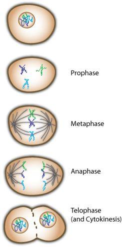 de fases van mitose(celdeling)                                                                                                                                                                                 Más