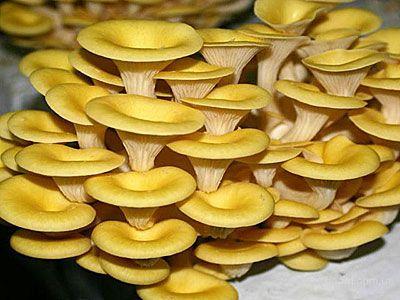 Мицелий грибов вешенки - на древесном носителе (деревянные палочки). Вешенка золотая популярный сорт грибов, легка в выращивании, растёт большими группами. Шляпки грибов рожковидной формы, лимонного или золотистого цвета. Первый урожай можно получить - на мягкой древесине (тополь, ива, берёза) через 2-4 месяца, на твёрдой (клён, бук, рябина) через 6 месяцев.
