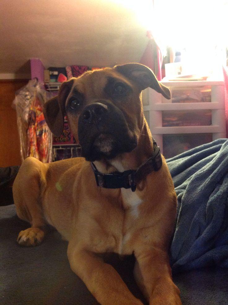 Most Inspiring Brindle Boxer Bow Adorable Dog - 2391bd0d9039c19d1669069854137b13--pitbull-boxer-boxer-mix  Trends_654443  .jpg