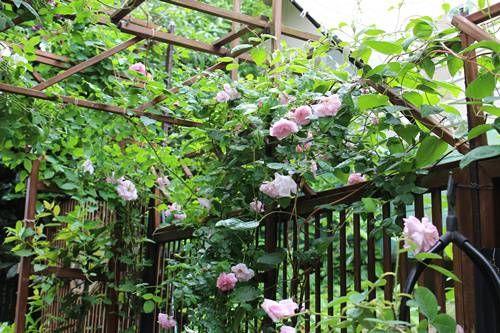 構想は1年前から あったのですがやっと やっとバラのハイシーズン前に 大急ぎで完成。 天蓋と呼ぶには少し恥ずかしいような サンシェード? 日よけ?  シェードガーデンの、天上部分の一部をレースの布で覆ってみました。  狭い庭なので、お隣がバッチリ見えますし日中は日が差さないのです...
