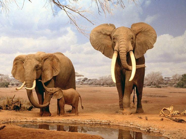 Elefanten - Handy Hintergrundbilder: http://wallpapic.de/tiere/elefanten/wallpaper-1726