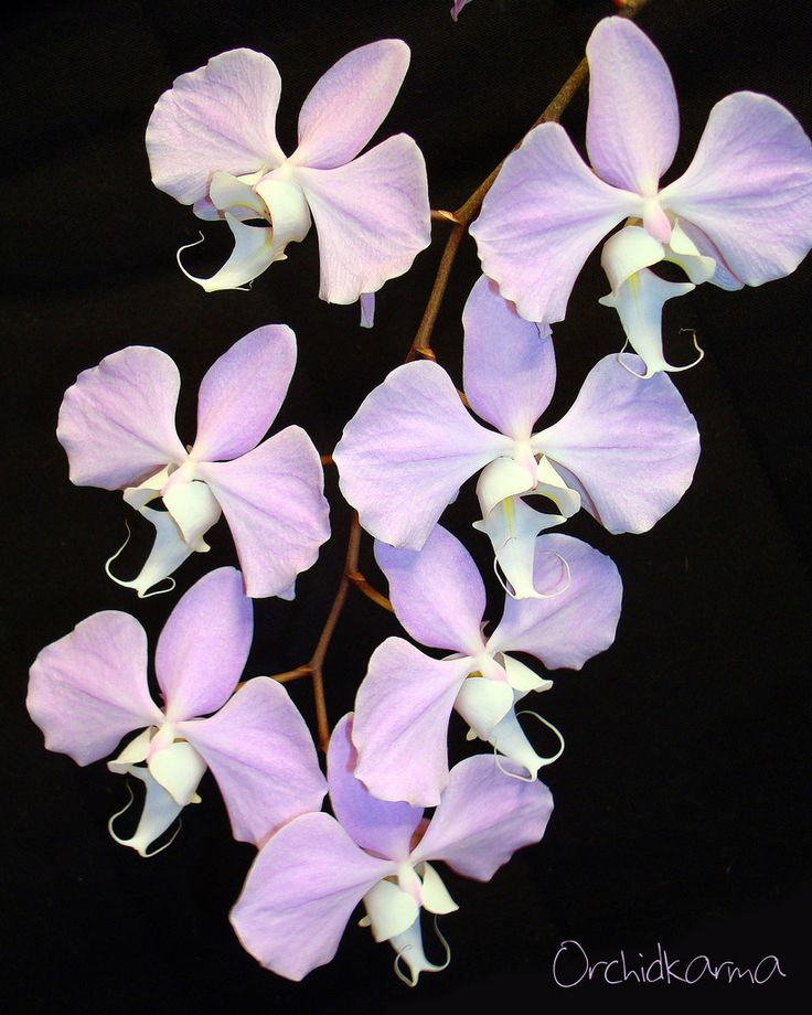 47 best Phalaenopsis sanderiana images on Pinterest | Html. Photos and Orchids