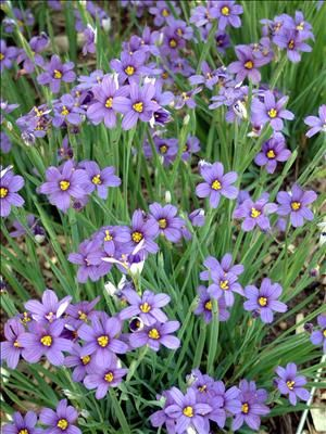 Lucerne Blue-Eyed Grass: U.S. native perennial wildflower has blue flowers with yellow eye above narrow, grasslike foliage. Self-seeds. Blooms in summer. Grows 10 inches tall. Full sun to light shade.   Blue-Eyed Grass was Thoreau's favorite plant.