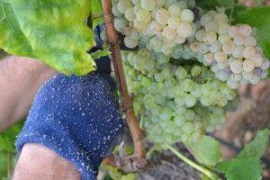 La vendimia a mano en Turís http://75centilitros.es/fotos-de-la-vendimia-2013-en-la-baronia-de-turis/