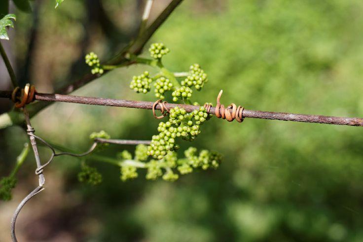 Junger Wein im Trentino
