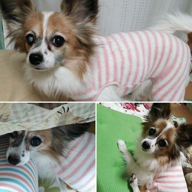 寒いからモコモコパジャマ着ました…着せられました… #パピヨン #愛犬 #dogstagram