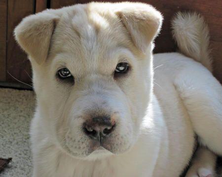 Charlie the Shar Pei Mix!!!  want this dog SOOO bad!!
