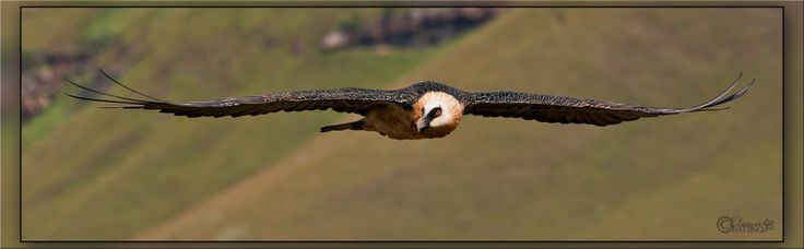 Bearded Vulture (Gypaetus barbatus), also known as the Lammergeier  The Bearded Vulture is dying out in southern Africa. One day, all we will have will be photographs and regrets to remind us of the amazing creatures that once flew in our skies. There are less than 100 Bearded Vulture nesting pairs left.~beardedvulture.org © Jan-Nor Photography