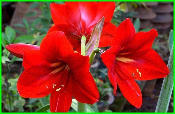 Bunga Lily Informasi Cara Perawatan Jenis Dan Artinya Daylily Gambar Bunga Bunga