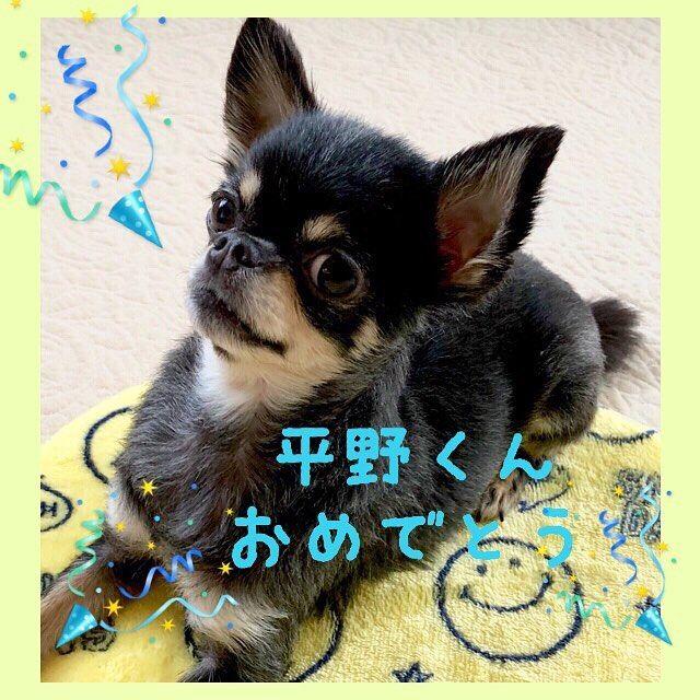 ㊗️平野くん、銀メダルおめでとうございます🥈 は〜っ、残念(T ^ T) ちーたんは優勝すると思っていたのに….°(ಗдಗ。)°.でも、素晴らしかったです✨ #ちわわ#チワワ#チワワ部#チワワ画像#癒し#癒し犬#ペット#いぬ部#dogsofinstagram#dogstagram#dog#dogs#chihuahua#chihuahuas#chihuahualove#chohuahualife#cutedog#犬#愛犬#ちわわ大好き#ちーたん#0214#オリンピック#スノボハーフパイプ平野くんおめでとう #平野歩夢 #おめでとう#olympic