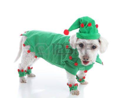 elf s: Perro de animal doméstico con un abrigo rojo y verde y sombrero puntiagudo Apto duende de la Navidad, bufón o leprechaun Fondo blanco