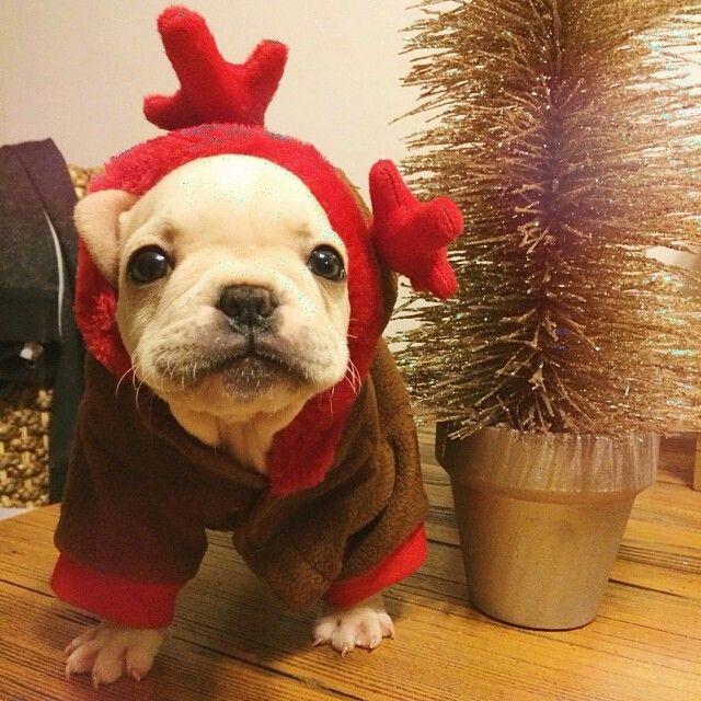 Christmas...coming soon! ⛄❄ www.frenchbulldogbreed.net
