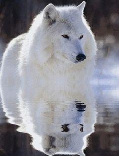 Precioso lobo blanco en el agua                                                                                                                                                                                 Más