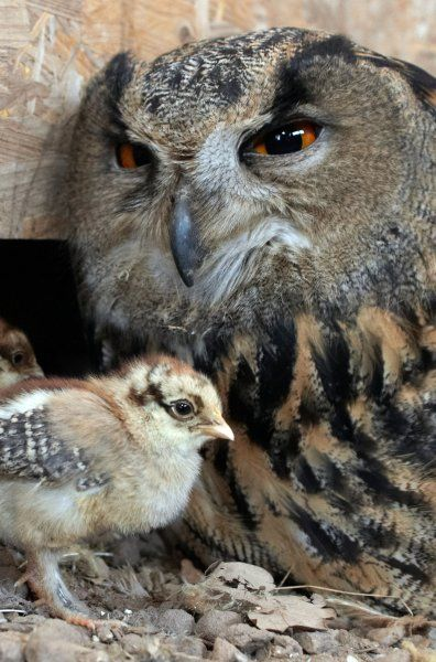 """The eagle owl Flea was feeling broody, but couldn't have chicks of her own. So keepers at Saarburg's Birds of Prey Park took pity on the bird and gave her chicken eggs to incubate.  Now the surrogate mother is doing a great job of raising the chicks, which hatched about a week ago. """"She sees the young as her own children,"""" zoo director Wolfgang Klotzbücher told the German news agency DPA. """"And she's really happy about it."""""""