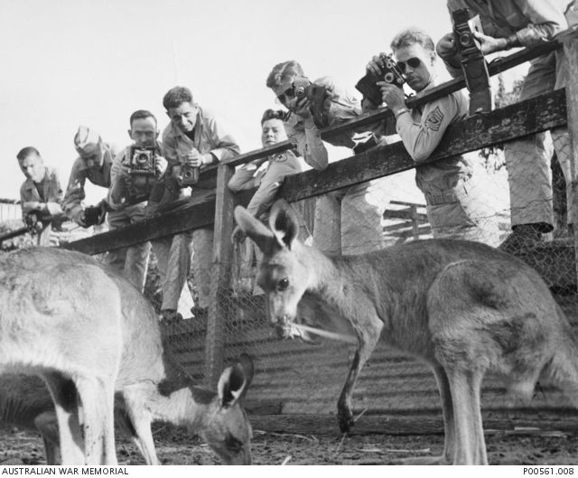 Mackay, Qld. C. 1943. Cameras are busily clicking at wallabies and kangaroos, favourites with American servicemen, in a private zoo. Tours are conducted to the zoo by American Red Cross Staff ...