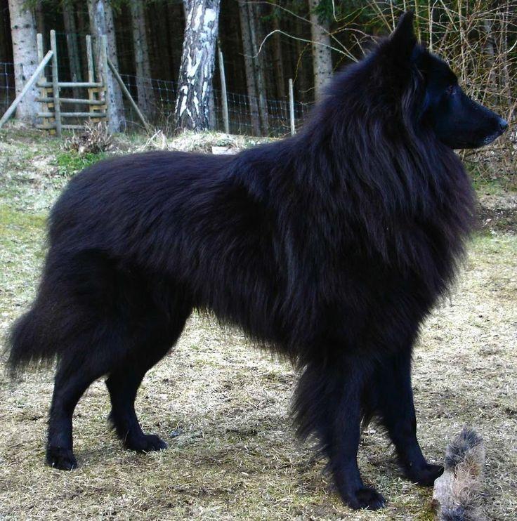 Groenendael Black Belgian Shepherd Belgian Sheepdogs