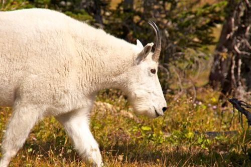 This mountain goat in Glacier National Park was shivering. Find out why: http://myitchytravelfeet.com/2013/01/19/mountain-goat-montana/ #Montana @Road Scholar