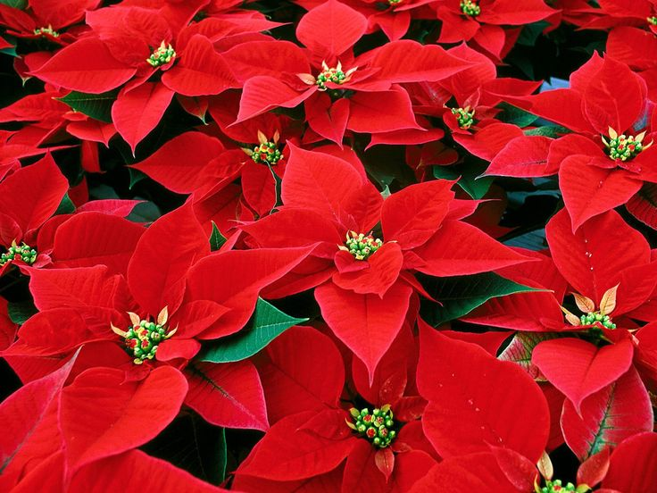 Poinsettia are a very popular flower at Christmas. Used to decorate your home, church, schools, etc. Read and learn more about the plant and how to look after them!
