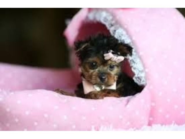 Pin By Tanya Brewer On Cute Puppies Pinterest Puppies Yorkie