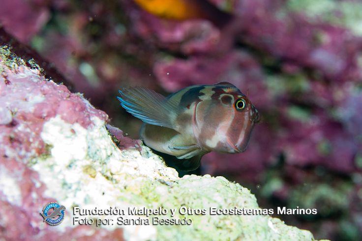 (Hypsoblennius brevipinnis) Borracho vacilón. SFF Malpelo.