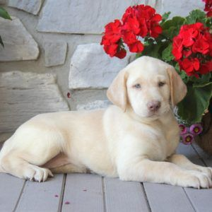 Yellow Labrador puppies for sale from Labrador Retriever breeders in PA! The Labrador Retriever has a sweet nature and is a loyal companion or family pet.
