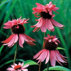 "really like the double decker. Echinacea Double Decker, 40"", summer to fall,"