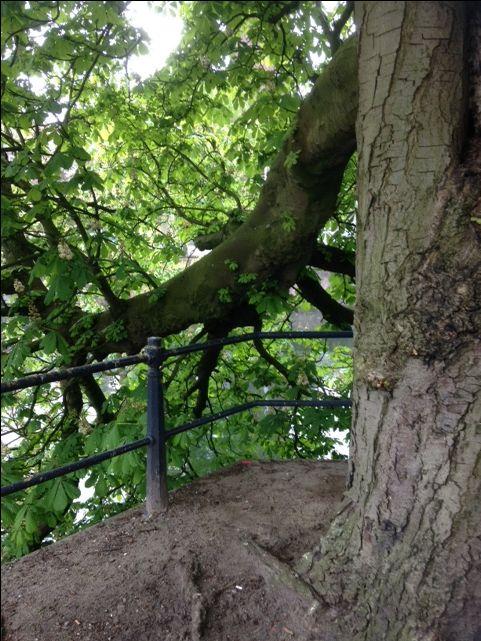 Super oude kastanjeboom