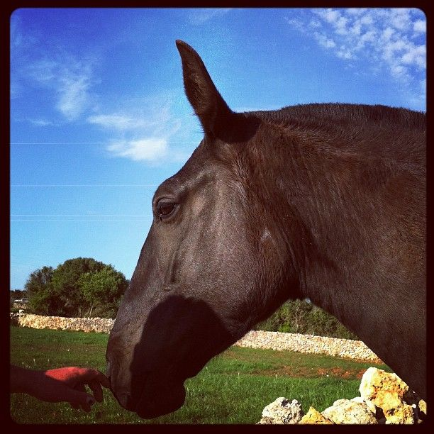 Top Minorcan Mare on Menorca Spain #menorcahorses