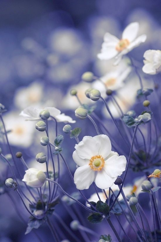 anemone-is a genus of about 120 species of flowering plants in the family Ranunculaceae,native to the temperate zones. It is closely related to Pulsatilla,and Hepatica;some botanists include both of these genera within AnemonePlant the bulbs of anemones in a location as sunny as possible.