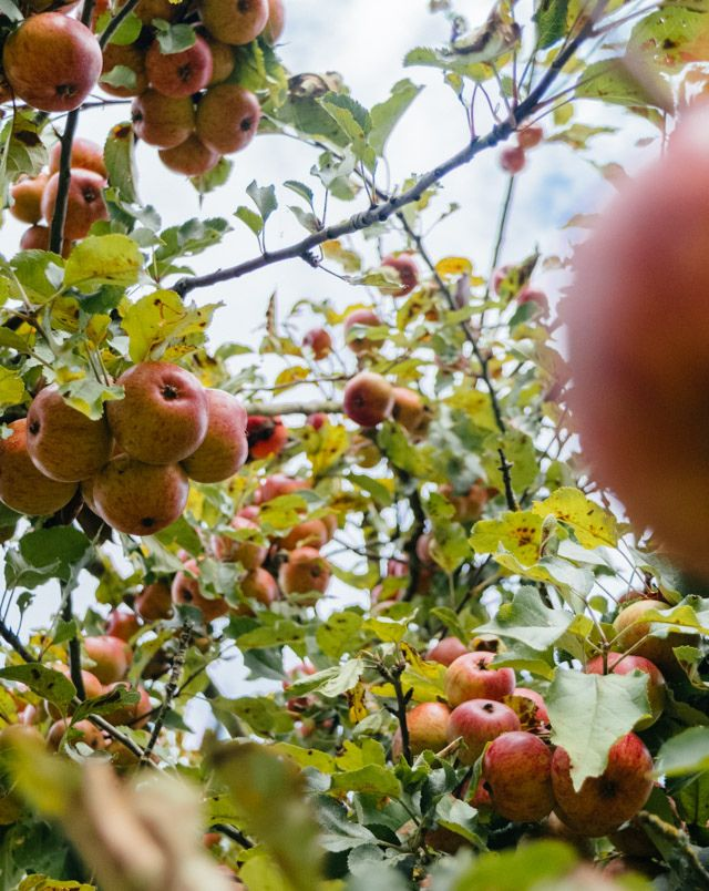apples in tree at westons cider mill orchards