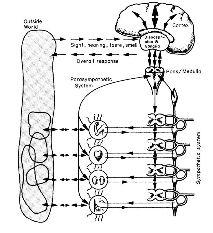 The human body's autonomic nervous system: Stafford Beer's inspiration for his Viable Systems Model