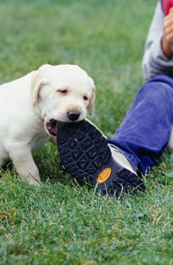 You walk into your bedroom to find your dog chewing up your favorite pair of shoes. What do you do, and how do you stop it from happening again? Here are 5 steps to reclaiming your shoes, your socks, your sofa, and any other household object your dog enjoys destroying.
