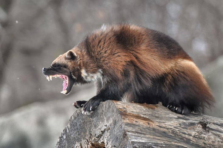 Angry wolverine