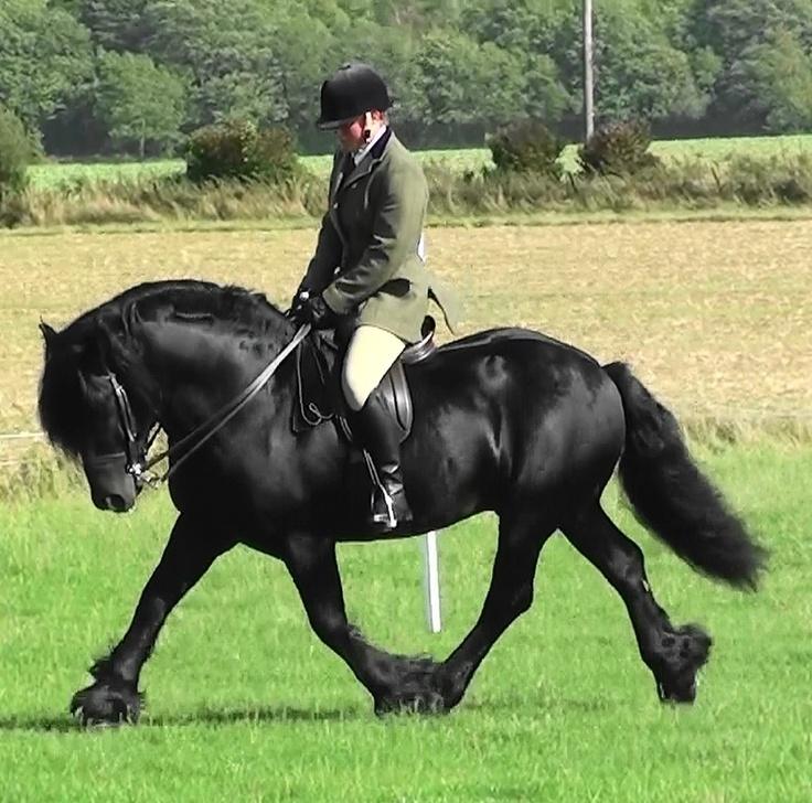 Fell pony stallion, Llancloudy Gabriel